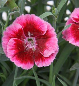 Dianthus Everlast Raspberry Cream