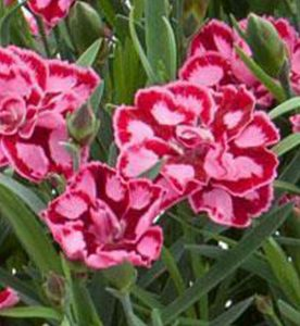 Dianthus Everlast Red Pink