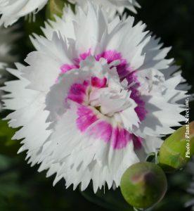Dianthus x Everlast White Eye