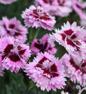 Dianthus Everlast Lilac Eye
