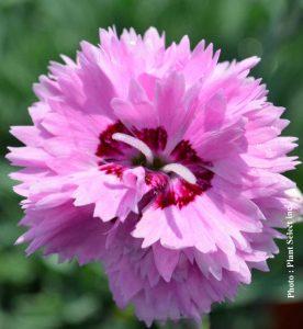 Dianthus Pop Star