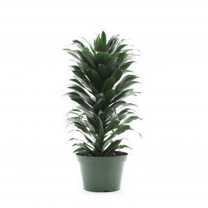 Dracaena fragrans  Twister Green Jewel