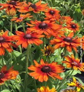 Echibeckia Summerina Orange
