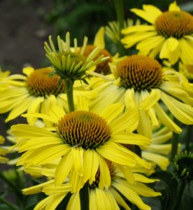 Echinacea Butterfly Cleopatra