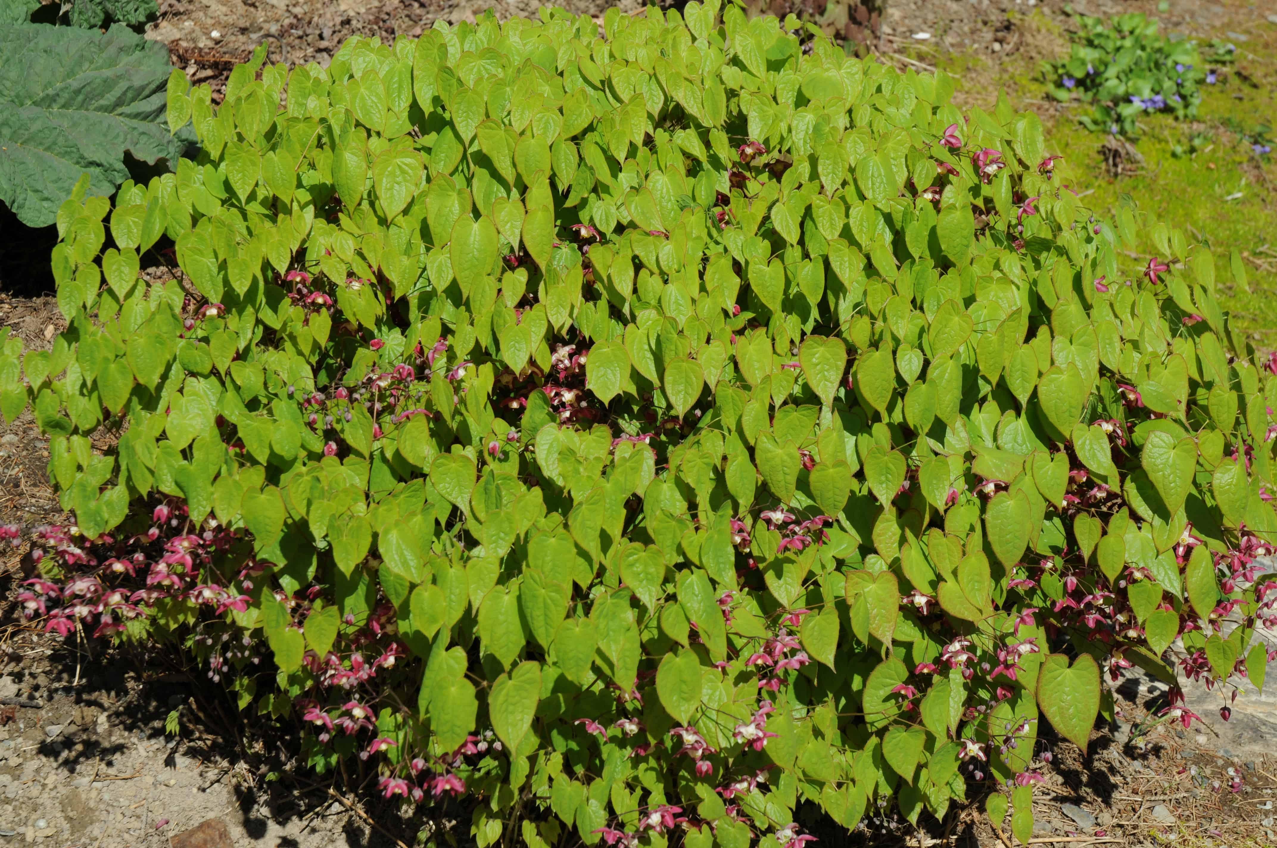Arbuste Terrain Sec Ombre epimedium rubrum - pépinière locas
