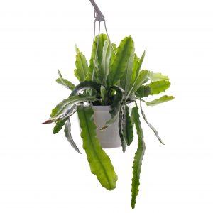 Epiphyllum hyb.