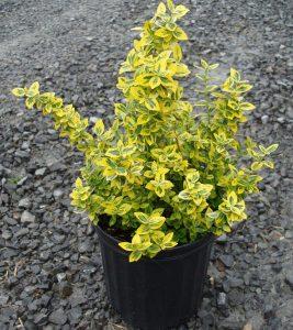 Euonymus fortunei Gold Tip