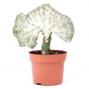 Cactus-Euphorbia lactea cristata Simple Elegance
