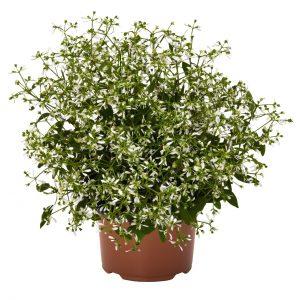 Euphorbia Star Dust White Sparkle