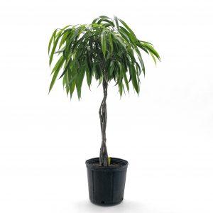 Ficus  Alii  -tige tressée