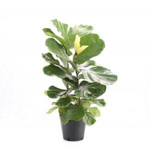 Ficus lyrata arbustif