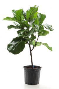 Ficus lyrata-sur tige