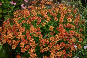 Helenium autumnale Mariachi Salsa