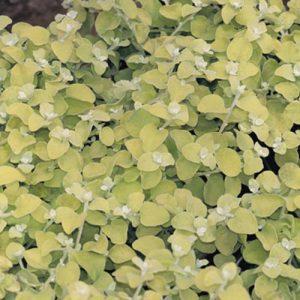 Helichrysum Licorice  Lemon