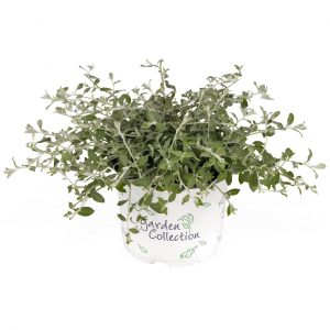 Helichrysum   Silver Star