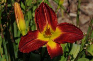 Hemerocallis Cherokee Star