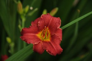 Hemerocallis Stella in Red