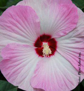 Hibiscus x Summer in Paradise