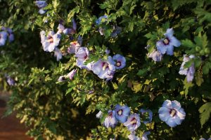 Hibiscus syriacus Azurri Blue Satin