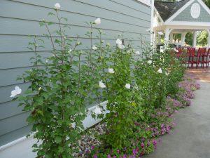 Hibiscus syriacus White Pillar