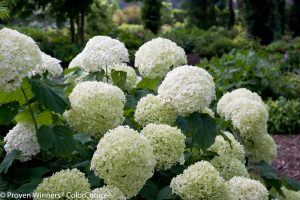 Hydrangea arborescens Incrediball