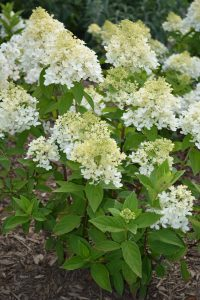 Hydrangea Sweet Summer