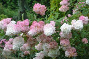 Hydrangea paniculata Vanille-Fraise