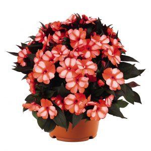 Impatiens Petticoat Mandarin Star