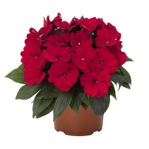 Impatiens Petticoat Red