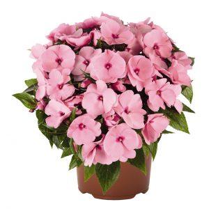 Impatiens Petticoat Solf Pink