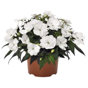 Impatiens Petticoat White