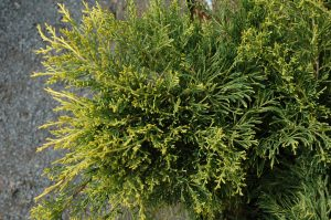 Juniperus chinensis Gold Lace