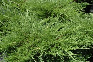 Juniperus horizontalis Plumosa Compacta