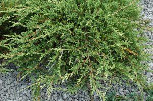 Juniperus horizonatalis Prince of Wales