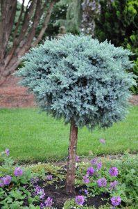 Juniperus squamata Blue Star (sur tige)