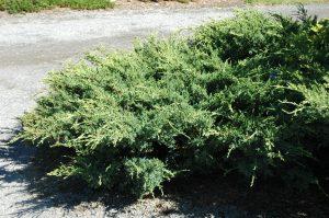 Juniperus squamata Holger