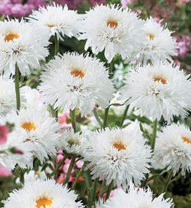 Leucanthemum superbum Santé