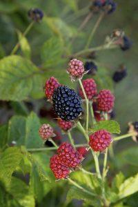 Rubus Baby Cakes – Framboisier