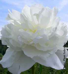 Paeonia lactiflora Duchesse de Nemours