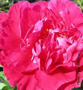 Paeonia lactiflora Kansas