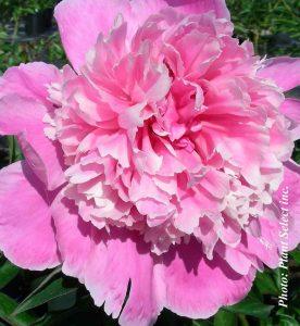 Paeonia lactiflora Sarah Bernhardt