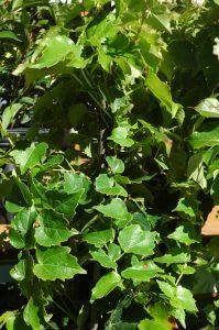 Parthenocissus triscuspidataVeitchii Robusta