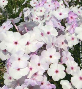 Phlox paniculata Fashionably Early Lavender Ice