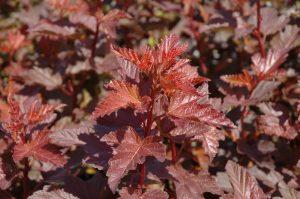 Physocarpus opulifolius Coppertina