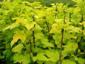 Physocarpus opulifolius Dart's Gold