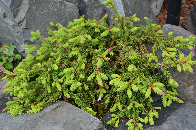 Picea Abies Pusch Pépinière Locas