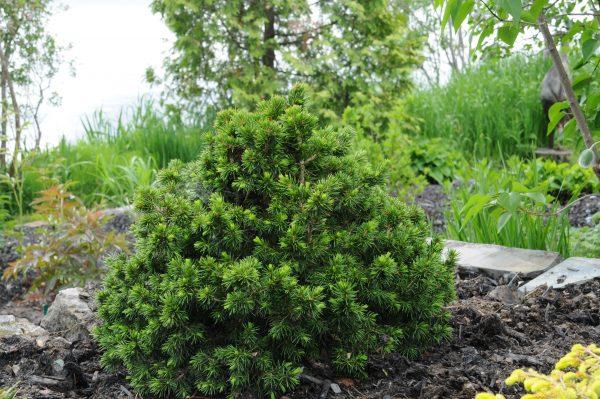 Picea Abies Tompa Pépinière Locas