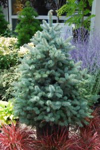 Picea pungens glauca Baby Blue