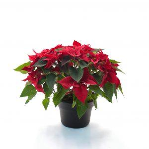 Poinsettia-Euphorbia pulcherrima 10″