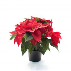 Poinsettia-Euphorbia pulcherrima 6.5″
